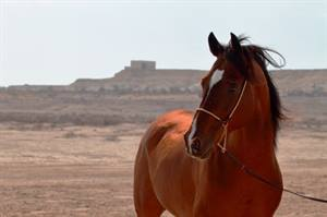WCM-Q research helps shed light on genetic heritage of Arabian Horse